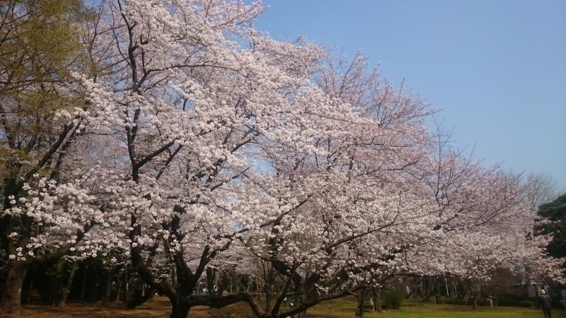 s-桜満開1.jpg