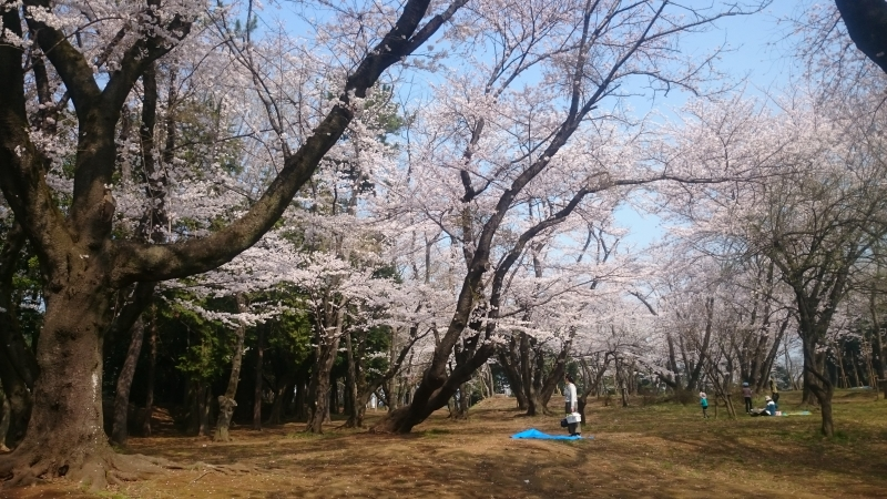 s-桜満開2.jpg